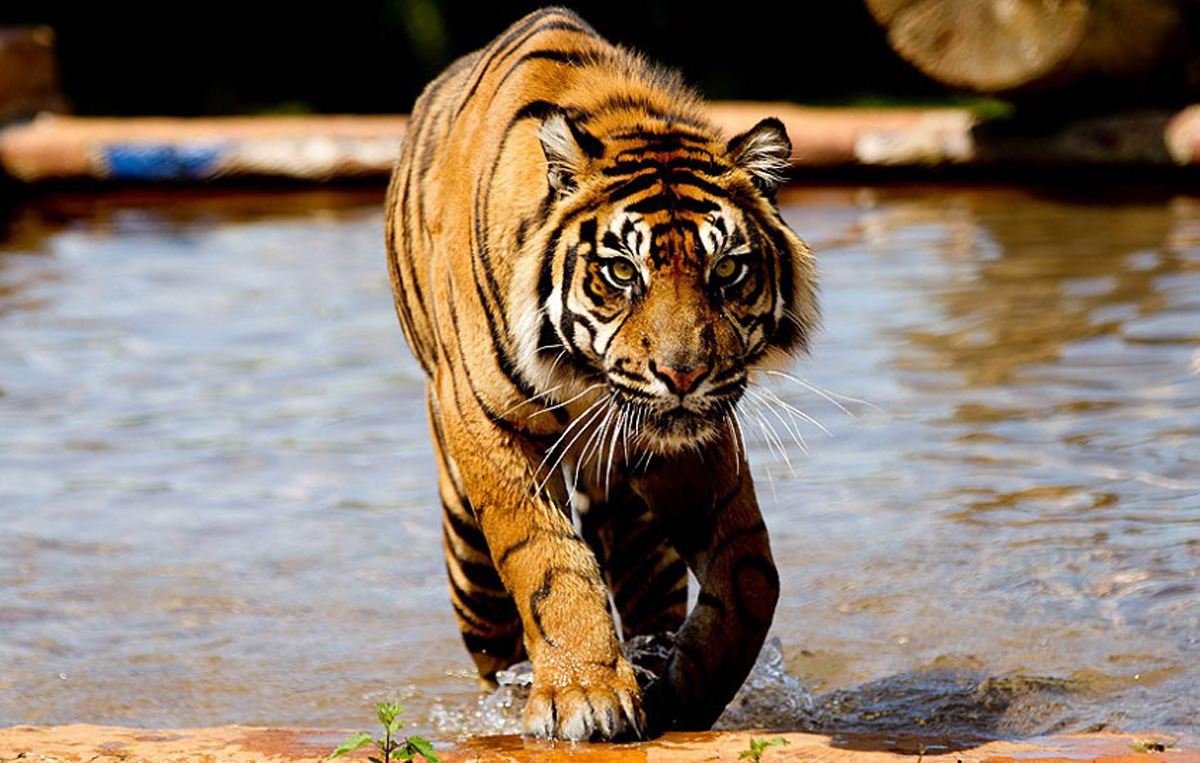 A tiger bathes during the hot weather at West Midlands Safari Park, 13 June 2014