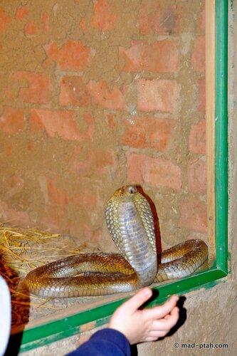 египет, змея