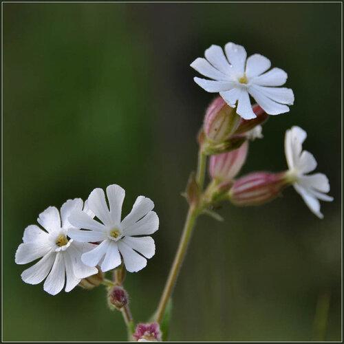 Дрёма белая (Melandrium album) Автор фото: Владимир Брюхов