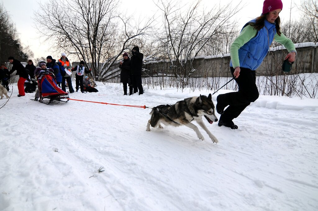 Соревнования по ездовому спорту на собаках