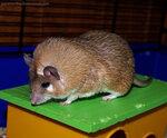 (1) Каирская иглистая мышь (Acomys cahirinus) / В живом уголке Дома Бабочек на ВВЦ (ВДНХ, Москва)