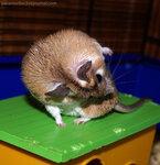 (2) Каирская иглистая мышь (Acomys cahirinus) / В живом уголке Дома Бабочек на ВВЦ (ВДНХ, Москва)