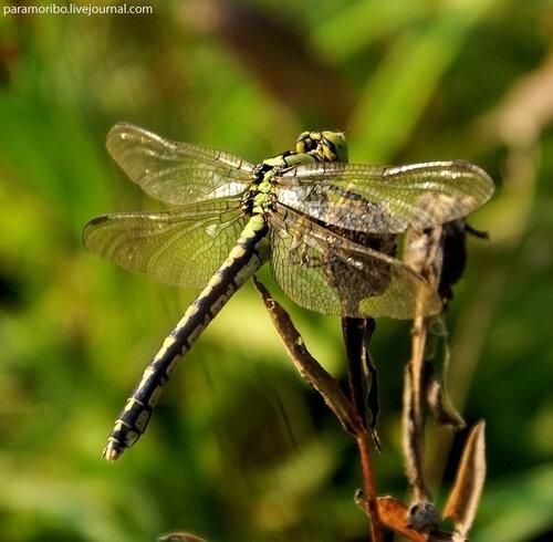 Офиогомфус цецилия (дедка рогатый), самка - Ophiogomphus cecilia - Green Snaketail, семейство дедки - Gomphidae