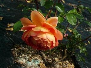Роза-лотос