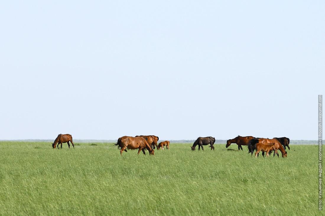 табун лошадей в казахской степи
