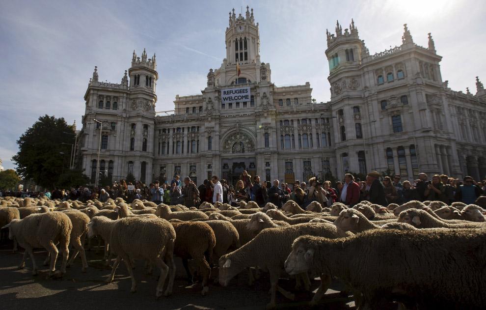 4. Больше всего удовольствия от овечьего парада получили туристы и дети. Животные были украшены коло
