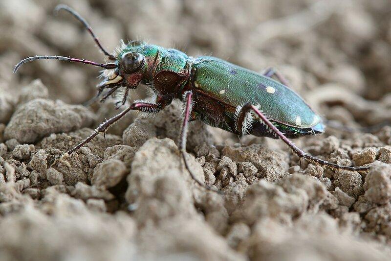 нанесла крупные земляные жуки фото и названия сковороде нарезанную
