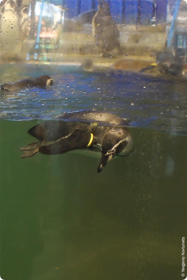 Тропический пингвин под водой, Кхао-Кхео, Тайланд