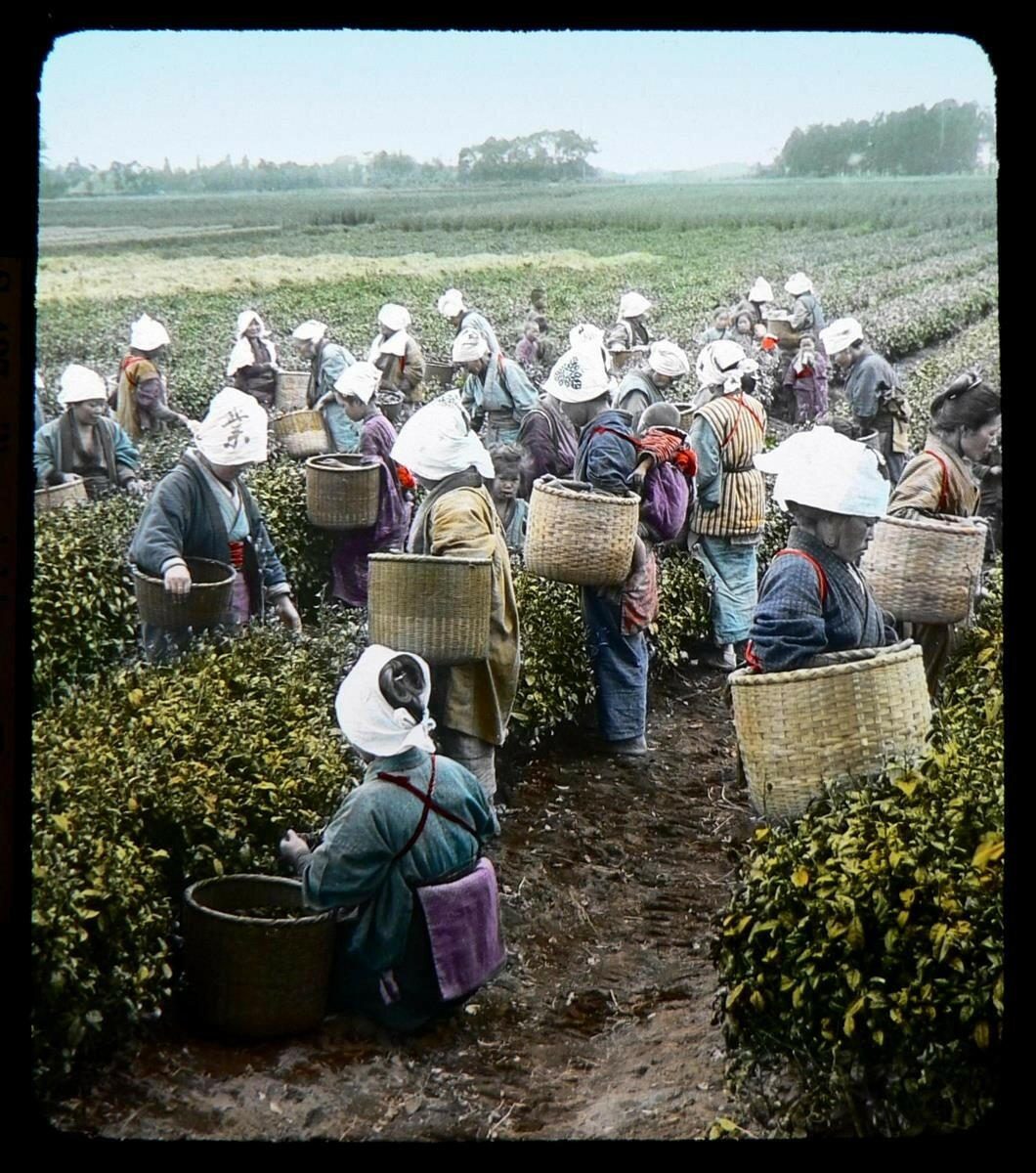 Сборщики чая