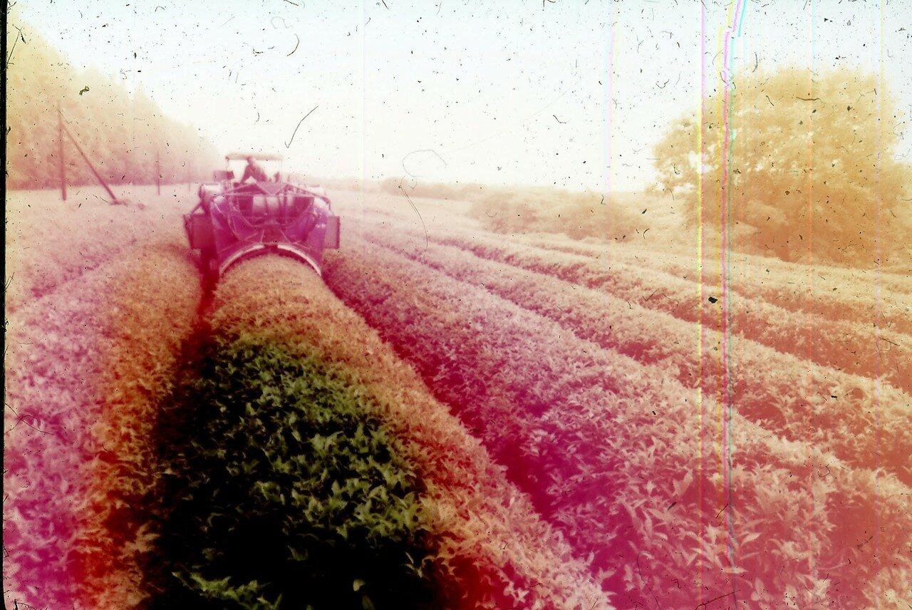 Абхазия. Сухуми. Чайные плантации