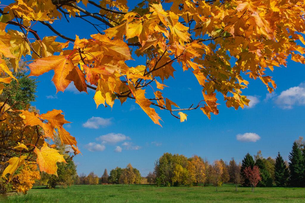 Желтый лист кленовый....