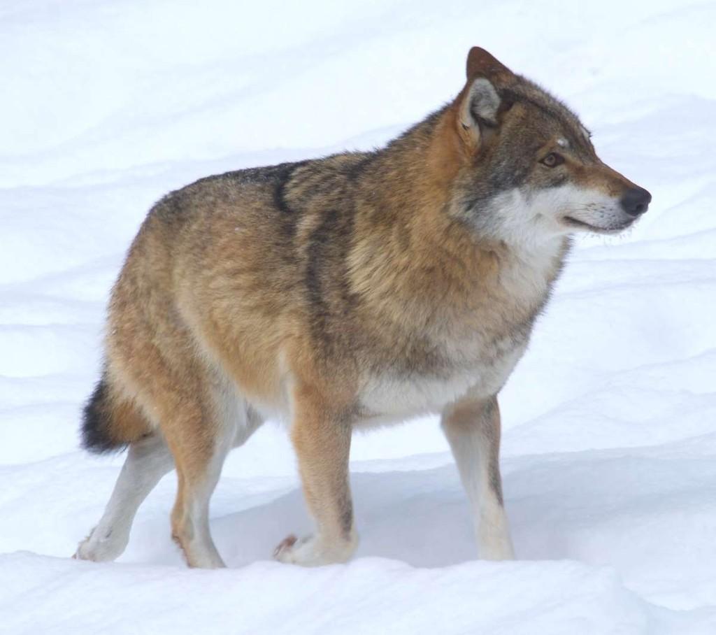 3. А это волк. Волки, как правило, больше, их вес примерно 45 килограммов, и они предпочитают более
