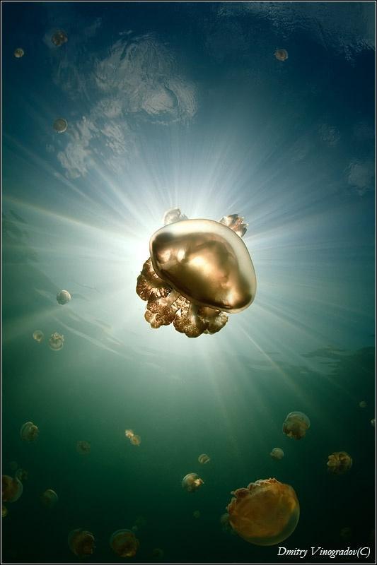 Великолепные, почти космические фотографии… Удивительный мир медуз