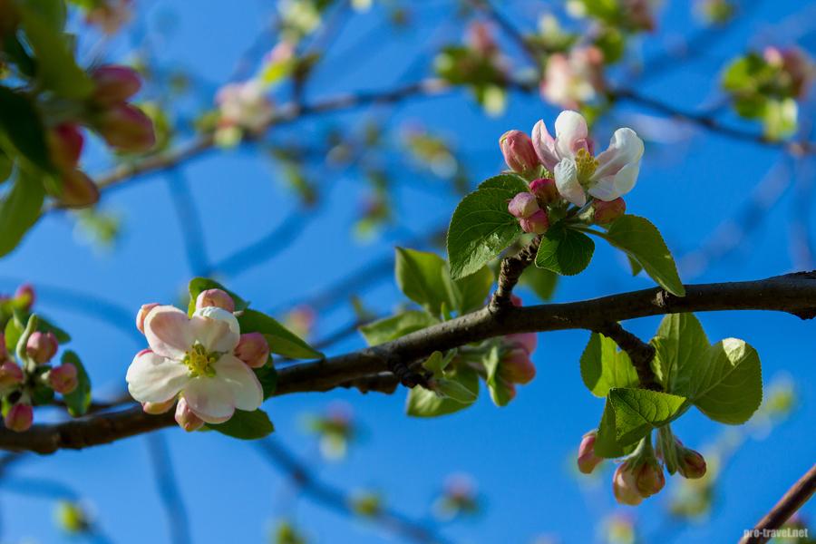 Почему яблони не сбросили листья на зиму