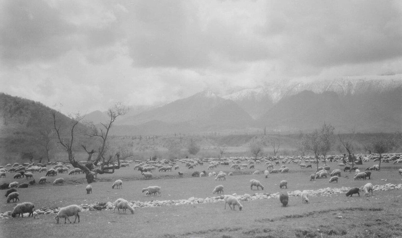 Дарьяльское ущелье. Пасущиеся овцы