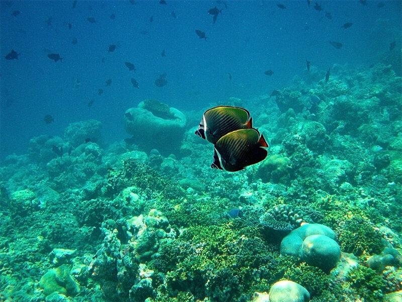 Краснохвостая бабочка.Redtail butterflyfish