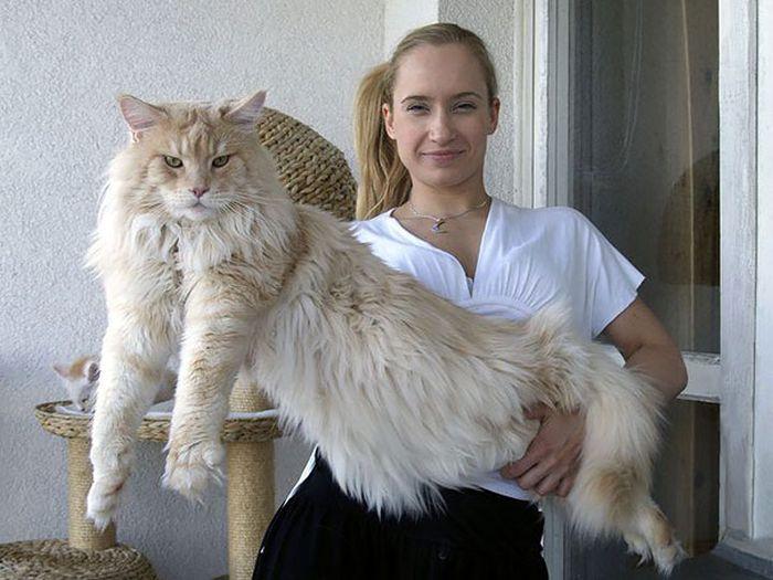 Мейн-кун - самые здоровенные домашние кошки в мире