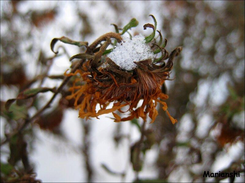 Увядшая хризантема под снегом