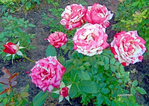 Галактика Роз