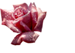 12930417376_fleurs_nikita.png
