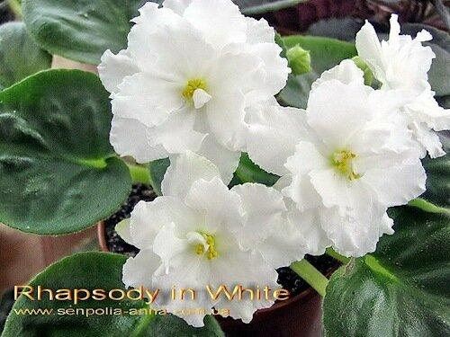 """""""Белая рапсодия """" Супер.  Белоснежные, просто махровые гигантские цветы.  Крупная светлая округлая листва. лист/детка."""