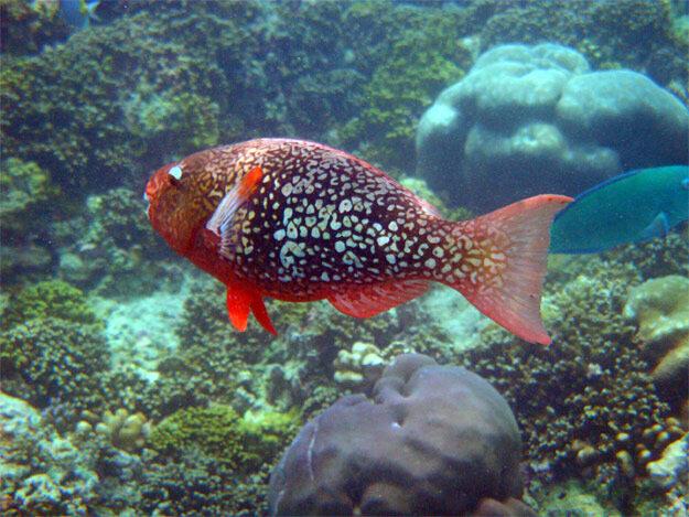 Рубиновая рыба-попугай, самка (Scarus rubroviolaceus)