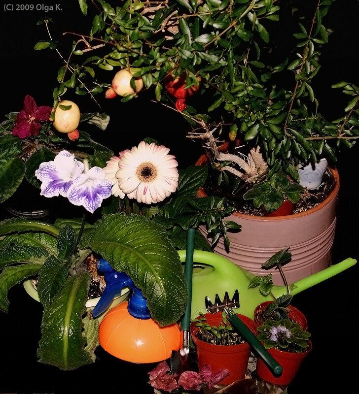 Хлопоты цветовода / Слева направо – сенполия «Бой быков», стрептокарпус «Канадиан Блю», гербера гибридная, сухие прицветники бугенвиллеи, всходы карликовых томатов, мини-фиалка «Ликующий эльф», земляника лесная, карликовый гранат