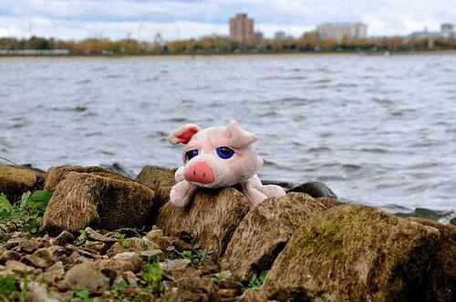Одинокий свинтус на каме у реки