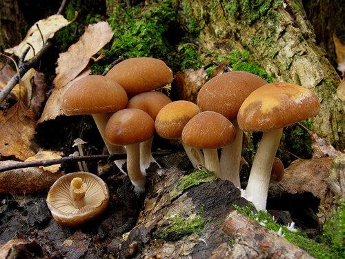 natalia — «Псатирелла шаровидная - Psathyrella piluliformis» на Яндекс.Фотках