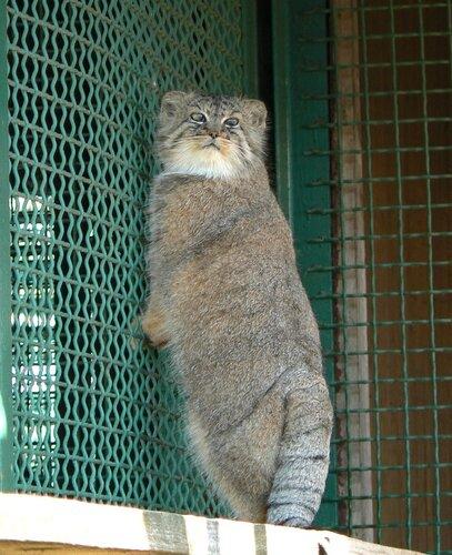 Московский зоопарк заплатит золотом за образ кота манула!