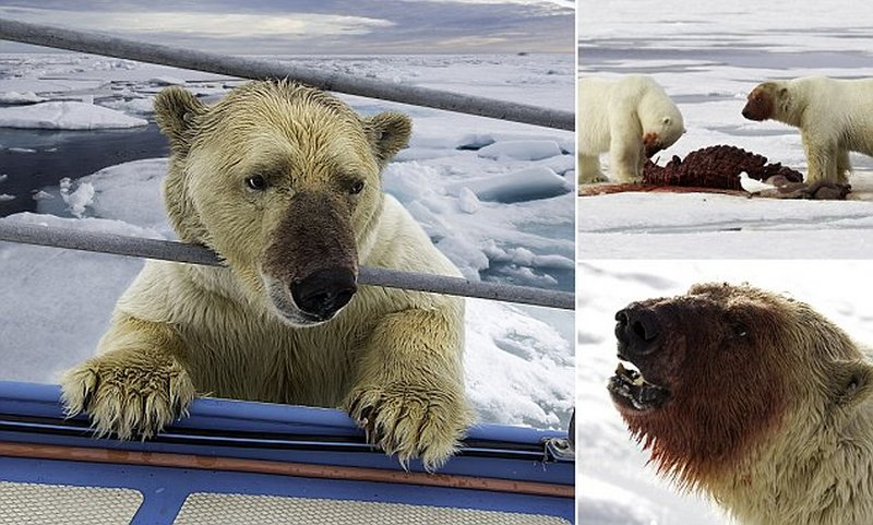 Blood Covered Grizzlies Enjoy A Hearty Feast