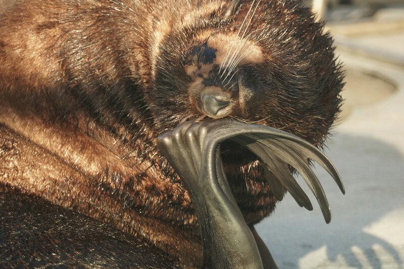 м 3морской котик самец.jpg