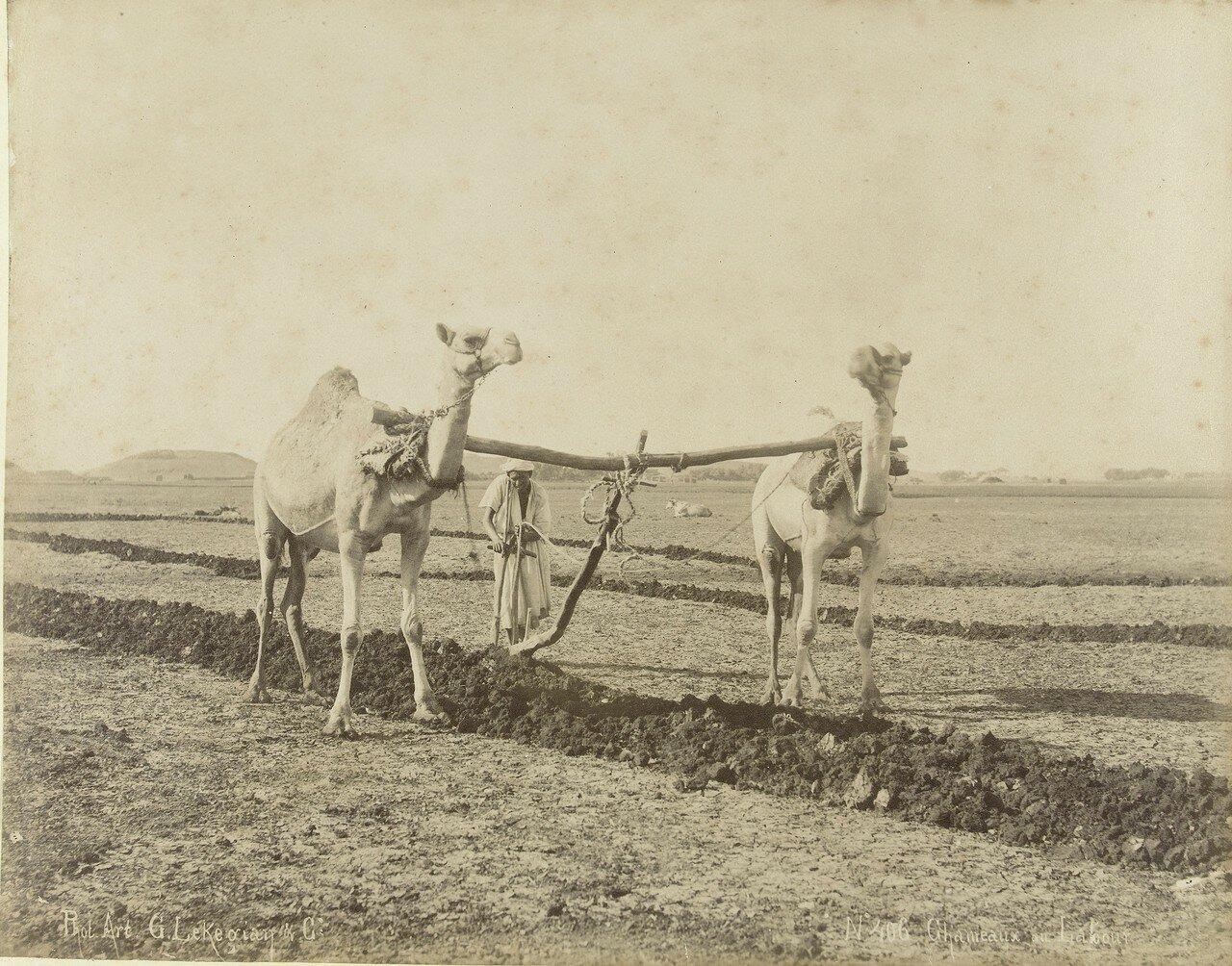 Фелах вспахивает пашню на верблюдах