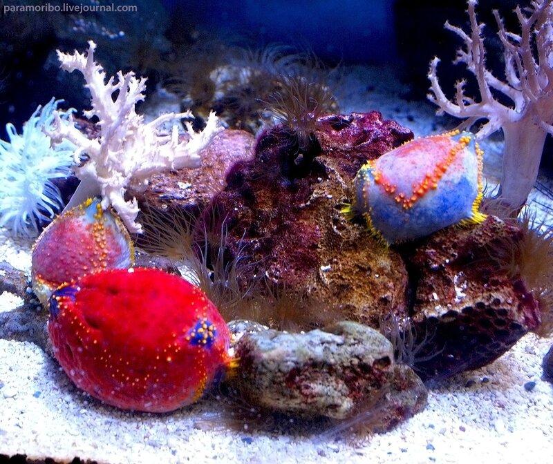 Pseudocolochirus axiologus (Paracucumaria tricolor), Sea Apple, Филиппинское пурпурное морское яблоко, Голотурия трехцветная / тип Иглокожие (офиуры, морские звезды, морские ежи)