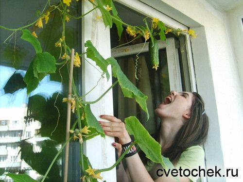 Емкость для выращивания огурцов на балконе.