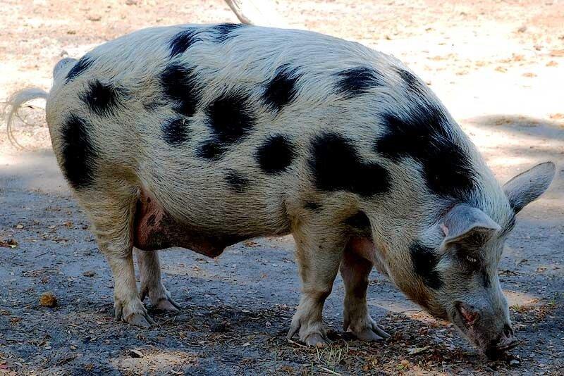 Целебесский свинтус (о.Сумба)