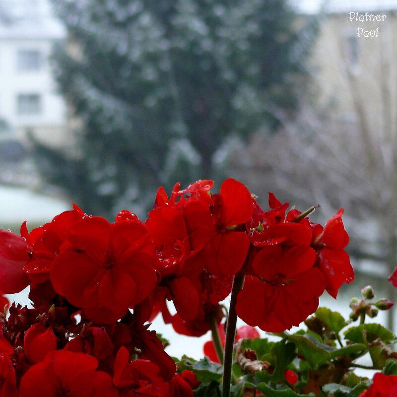 на балконе еще цветут герании, а за балконом снег...24.11.2008