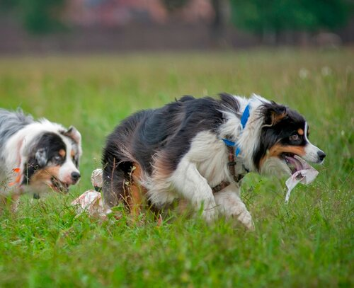 Вес собаки и анатомия для работы/спорта - Страница 8 0_1b392b_cd0a0547_L