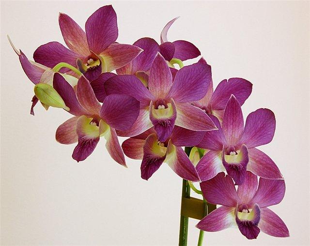 орхидея дендробиум. Уход в домашних условиях