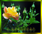 сюбилеем ч роза.jpg
