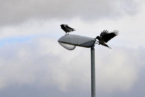 двум воронам, на одном...