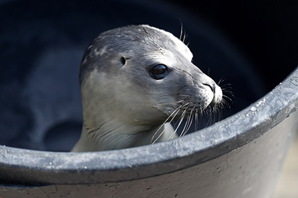 На автостоянке в Уэльсе найден детеныш тюленя
