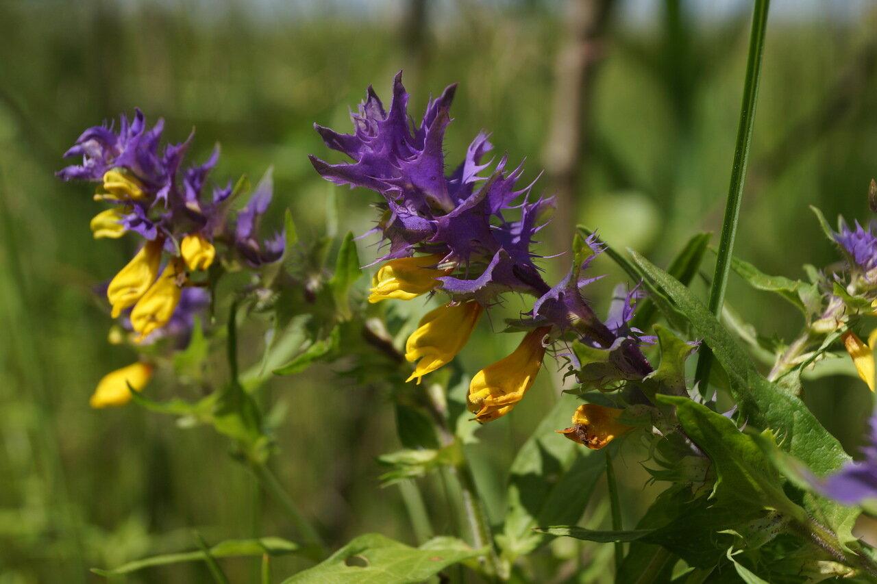 Марьянник дубравный (Melampyrum nemorosum). Автор фото: Привалова Марина