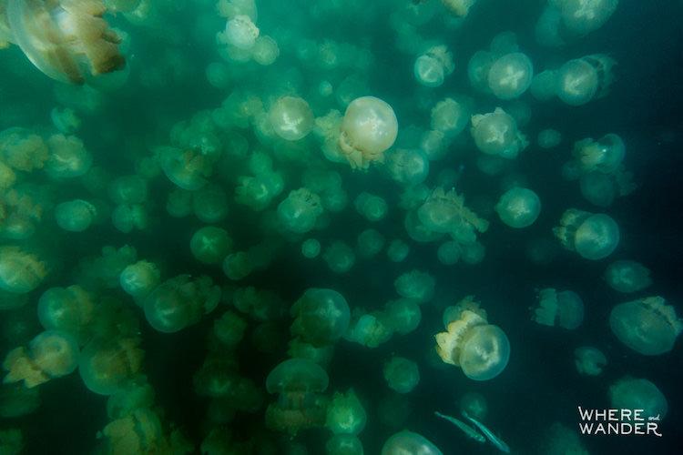 Щупальца медуз, обитающих на острове Эйл-Малк, совершенно безопасны для человека и не способны причи