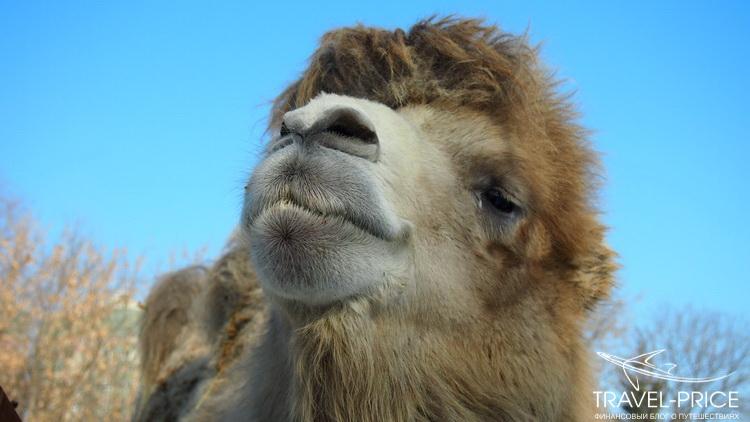 лохматый верблюд в зоопарке Казани