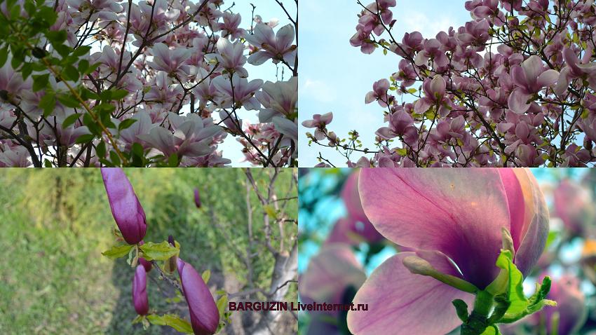 Цветут магнолии