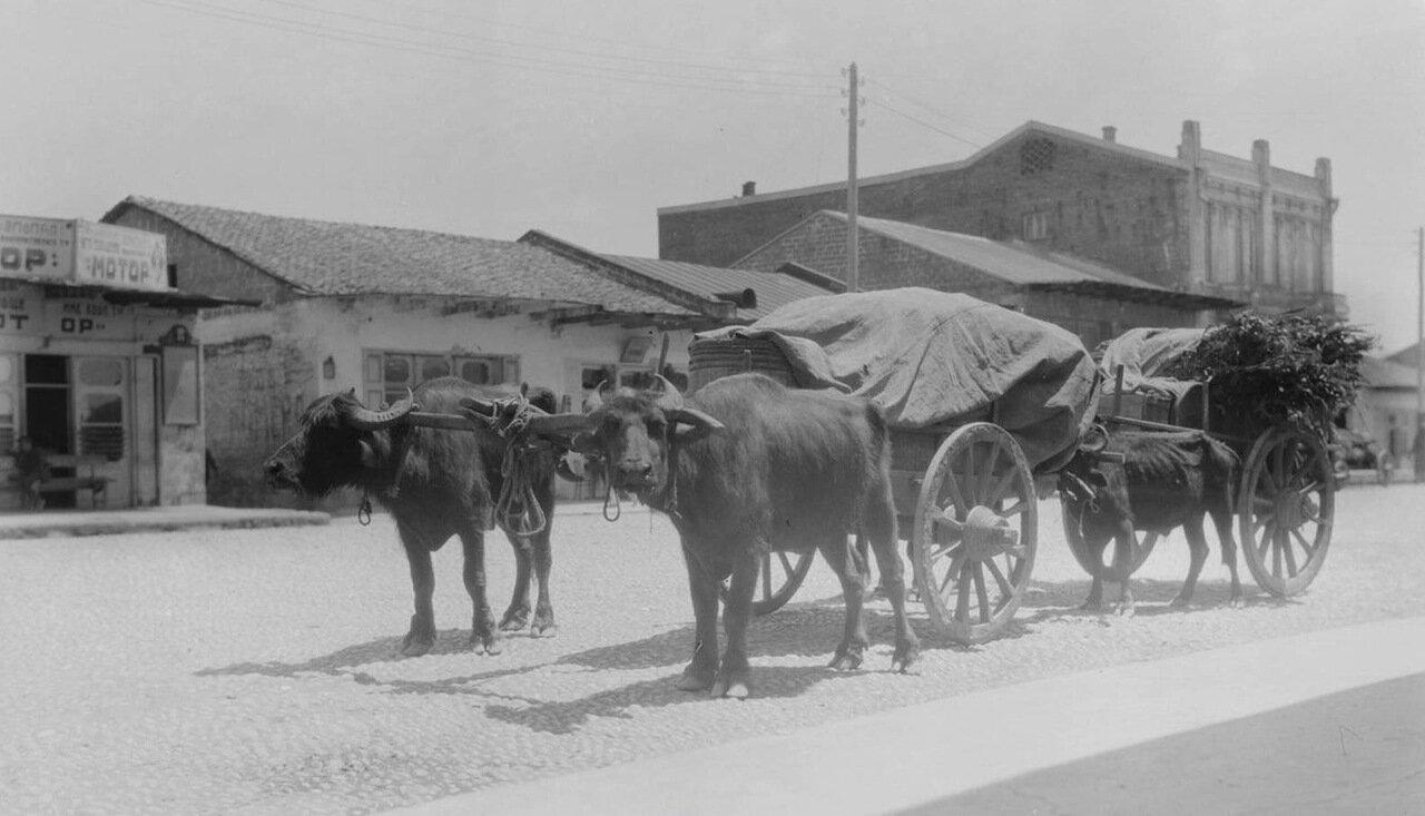 Сухуми. Крупнорогатый скот и повозки на улице города
