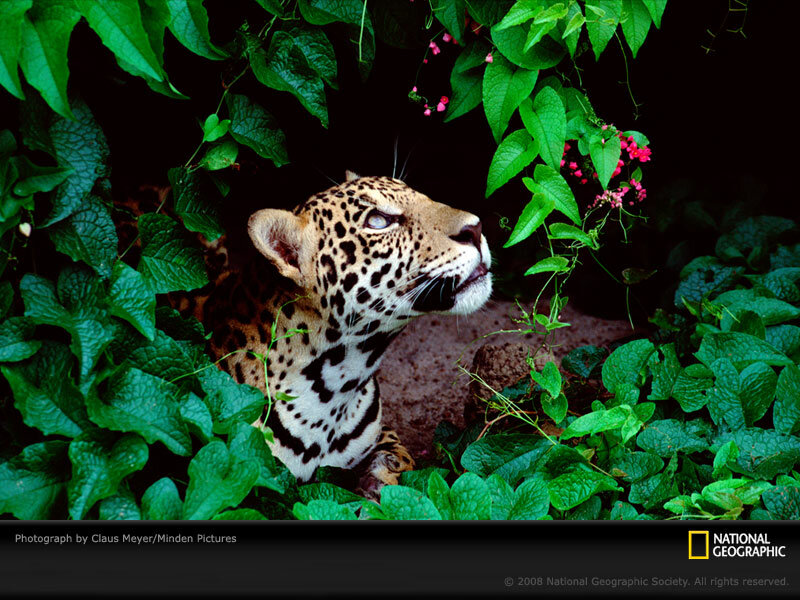 Jaguar in a rain forest