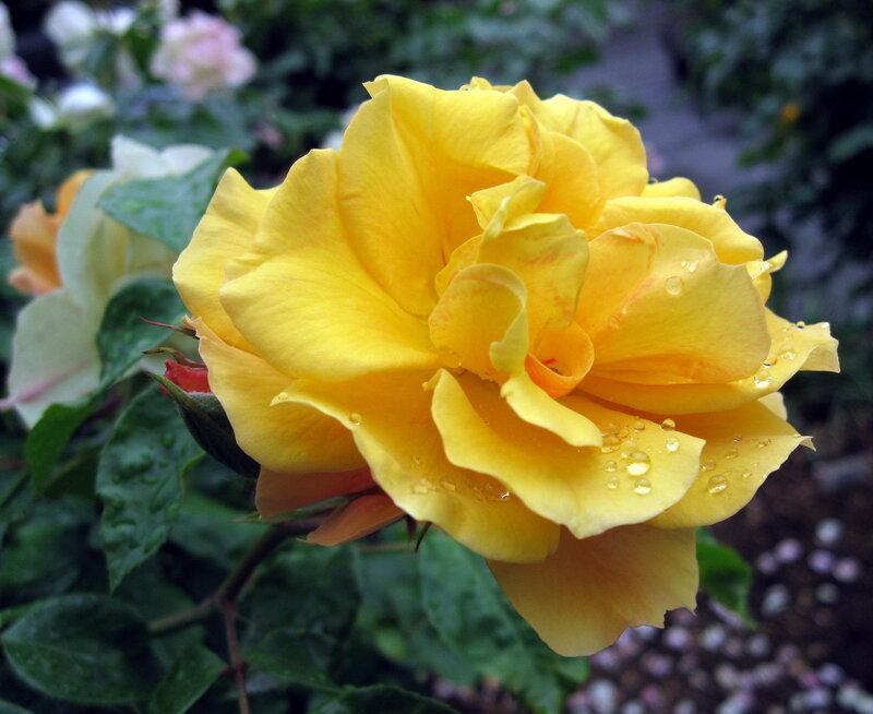 Розы! Одна краше другой!