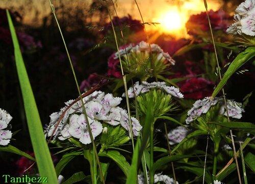 Гвоздика Бородатая (Турецкая) / Dianthus Barbatus